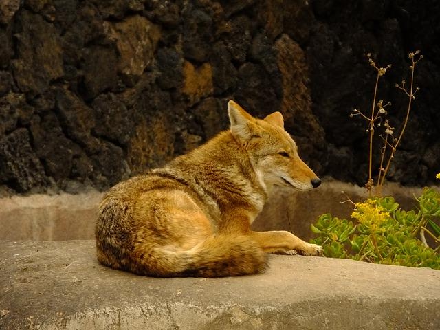 Coyote-235303_640
